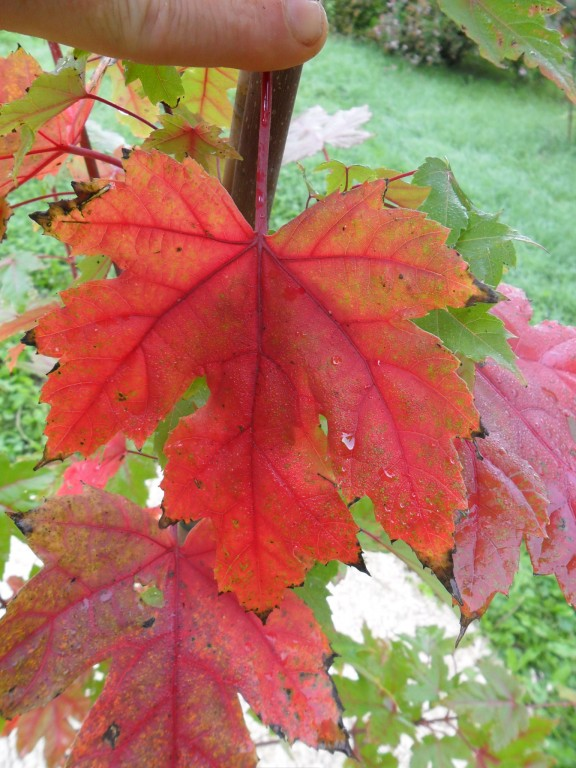 feuille de l'Erable 'autumn blaze' mi- octobre.
